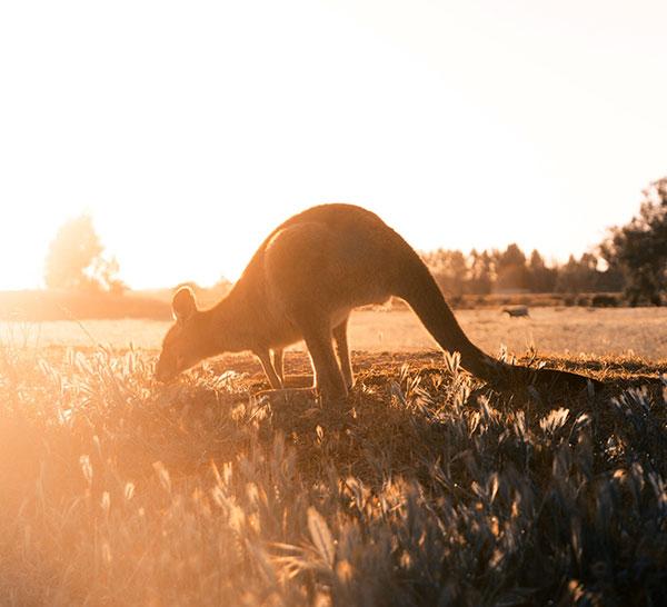 Australien, känguru